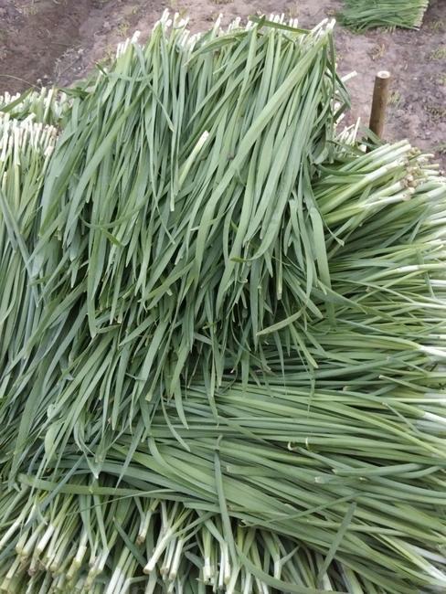 寒绿王韭菜 头茬 30~35cm