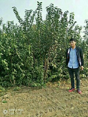 河南省许昌市鄢陵县素心腊梅 2.5~3米