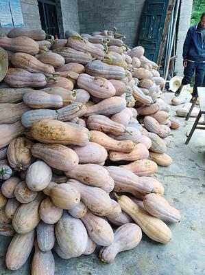 重庆涪陵区蜜本南瓜 6~10斤 长条形