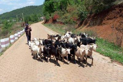 云南省红河哈尼族彝族自治州弥勒市山羊 80-110斤