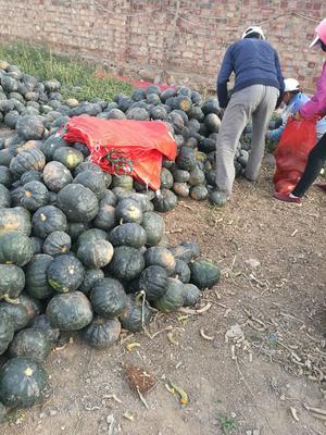 内蒙古自治区巴彦淖尔市乌拉特前旗黑皮南瓜 2~4斤 扁圆形