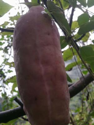 广西壮族自治区来宾市象州县八月瓜种子