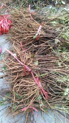 山西省运城市绛县油用牡丹种苗 2cm以下 4cm以下 0.5米以下
