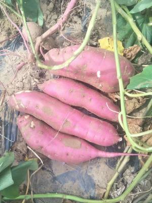 内蒙古自治区通辽市库伦旗白板薯 0.5-1斤