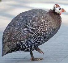 湖北省恩施土家族苗族自治州咸丰县灰色珍珠鸡 2-4斤