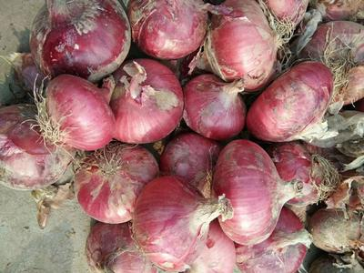 山东省滨州市惠民县二红洋葱 8cm以上 二红 4两以上