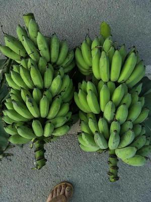 广西壮族自治区南宁市西乡塘区西贡蕉 七成熟 50 - 60斤