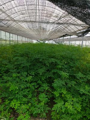 这是一张关于辣木籽的产品图片