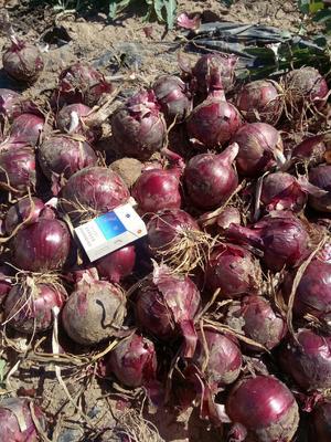 甘肃省张掖市高台县紫皮洋葱 7.5cm 紫皮 3.5~4两