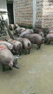 广西壮族自治区玉林市博白县黑土猪 200-300斤