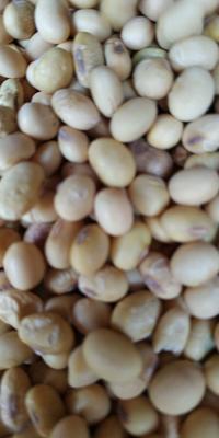 湖北省荆州市荆州区中黄13黄豆 生大豆 1等品