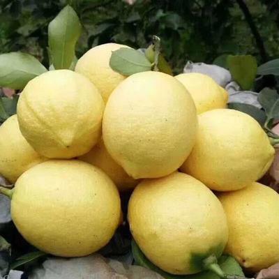 重庆万州区黄柠檬 2.7 - 3.2两