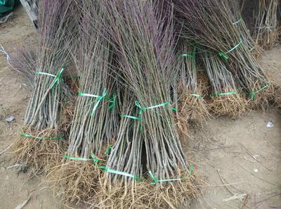 这是一张关于黄桃树苗 1~1.5米的产品图片