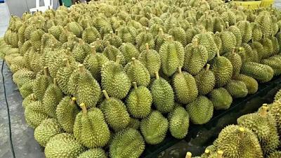 广东省广州市白云区金枕头榴莲 80 - 90%以上 2 - 3公斤