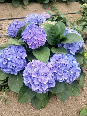 蓝边八仙花