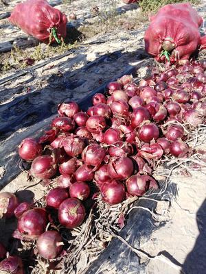 黑龙江省齐齐哈尔市梅里斯达斡尔族区紫皮洋葱 8cm以上 紫皮 4两以上