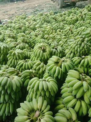 云南省红河哈尼族彝族自治州河口瑶族自治县河口香蕉 七成熟 40斤以下