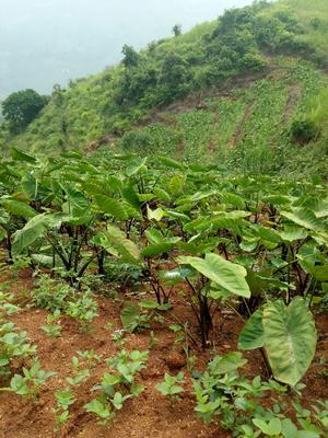 云南省红河哈尼族彝族自治州个旧市毛芋头 2cm以上