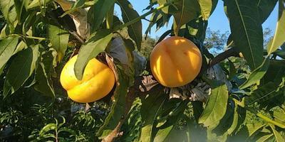 这是一张关于黄油桃 4两以上 60mm以上的产品图片