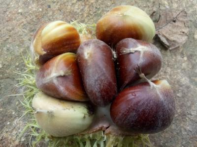 这是一张关于泰山板栗 统货 中粒的产品图片