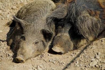 甘肃省平凉市崇信县生态野猪 80斤以上 统货