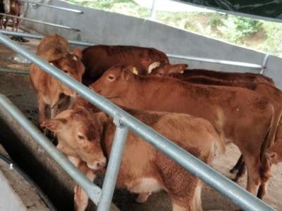 广西壮族自治区桂林市临桂县黄牛 200-300斤 母牛