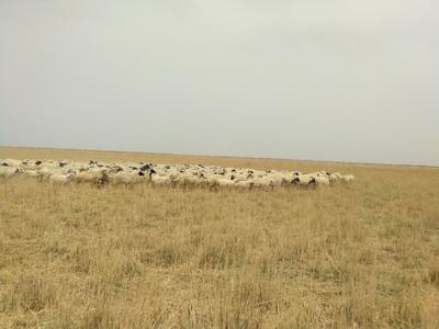 青海省海西蒙古族藏族自治州茫崖行委草原绵羊 300斤以上