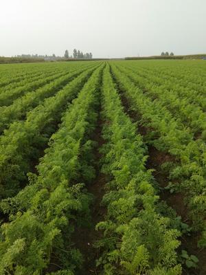 山东省青岛市平度市三红胡萝卜 15cm以上 3两以上 4~5cm