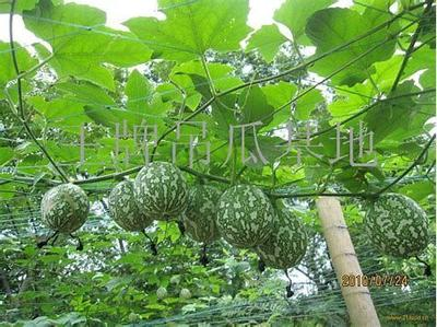 广西壮族自治区桂林市资源县吊瓜子 散装