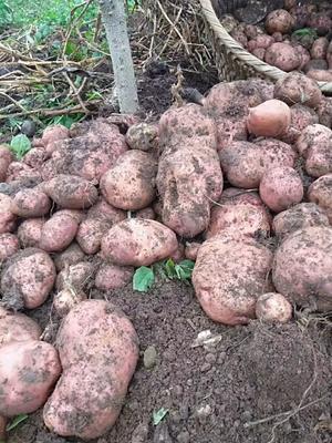 这是一张关于丽薯7号 2两以上的产品图片