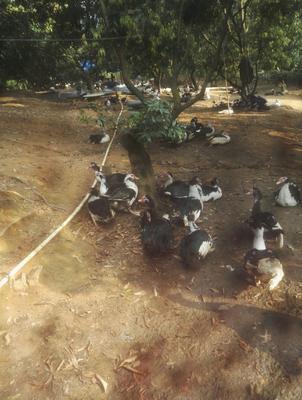 广东省茂名市电白区番鸭 公 全圈养 9-10斤