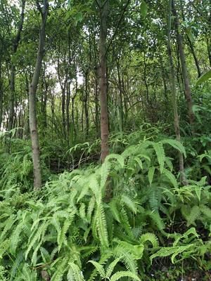 广西壮族自治区桂林市平乐县全冠香樟