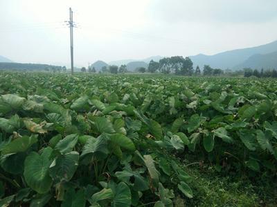 广西壮族自治区贺州市钟山县荔浦芋头 6cm以上