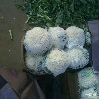 河北省邯郸市永年县温心58菜花 紧密 1~2斤 乳白色