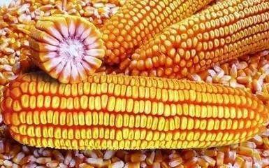 天津静海县先玉1225玉米粒 霉变≤1% 净货
