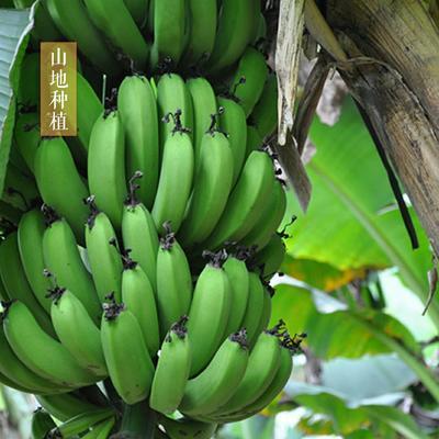 广东省江门市开平市威廉斯香蕉 七成熟 60 - 70斤