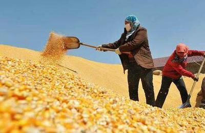 山西省忻州市忻府区玉米干粮 霉变≤1% 净货