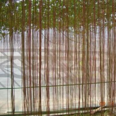 广西壮族自治区钦州市灵山县龙须藤