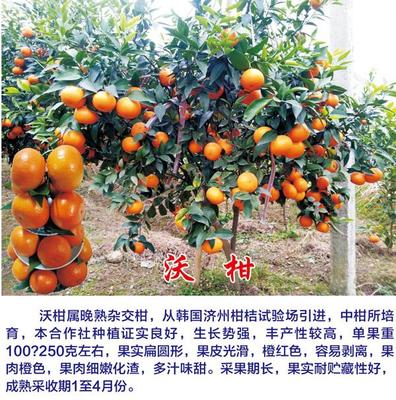 沃柑苗 嫁接苗 0.2~0.35米