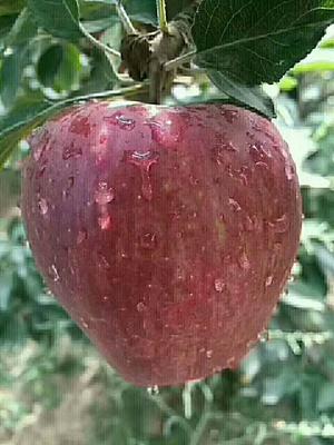 甘肃省陇南市礼县国红苹果 光果 全红 80mm以上