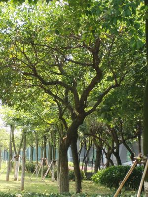 广西壮族自治区桂林市荔浦县紫薇树