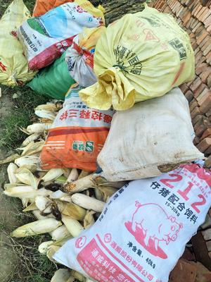 陕西省渭南市华县正大12号玉米粒 霉变≤2% 净货