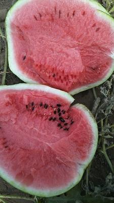 内蒙古自治区赤峰市阿鲁科尔沁旗黑美人西瓜 有籽 1茬 7成熟 10斤打底