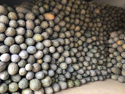 云南省红河哈尼族彝族自治州弥勒市蜜本南瓜 6~10斤 长条形