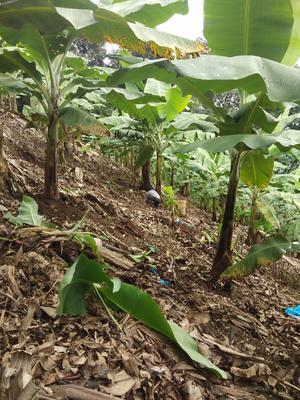 云南省昆明市嵩明县巴西香蕉 八成熟 40斤以下