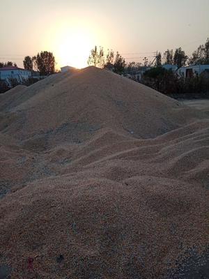 河南省驻马店市遂平县玉米干粮 霉变≤1% 杂质很少