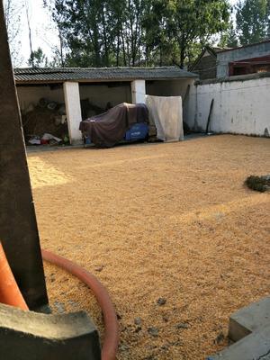 河南省驻马店市遂平县浚单18玉米粒 霉变≤1% 杂质很少