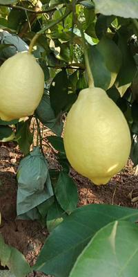 重庆万州区青柠檬 2 - 2.6两