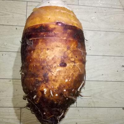 广东省韶关市乐昌市香芋 5cm以上