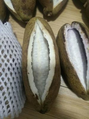 河北省保定市安新县麻皮八月瓜 种植 150g以上